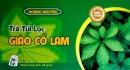 Giảo Cổ Lam